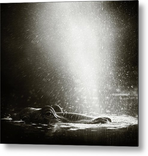 Africa Metal Print featuring the photograph Hippo Blowing Air by Johan Swanepoel