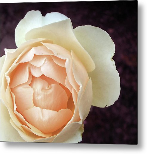 Rose Metal Print featuring the photograph Jude The Obscure by Dawn Chevoya