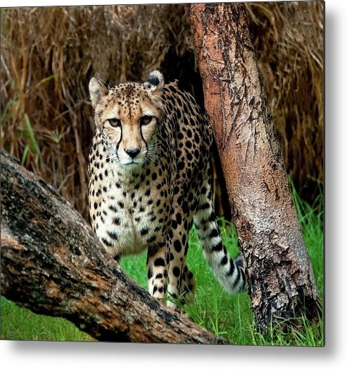 Western Australia Metal Print featuring the photograph On The Prowl by Heather Thorning