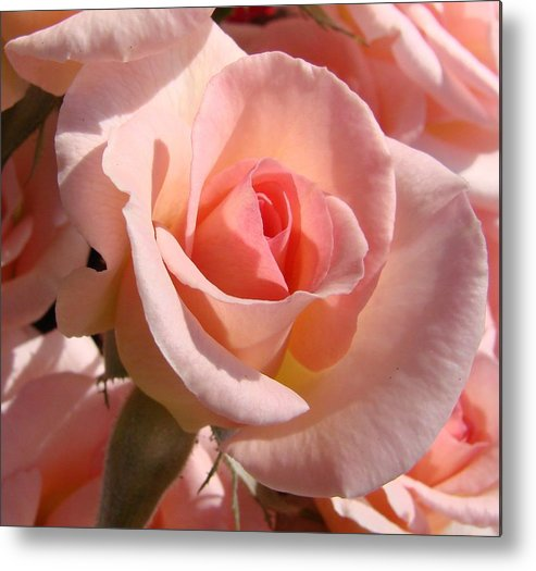Pink Metal Print featuring the photograph Pink Roses by Liz Vernand