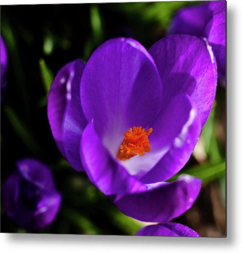 Crocus Metal Print featuring the photograph Spring Pollen by ShaddowCat Arts - Sherry