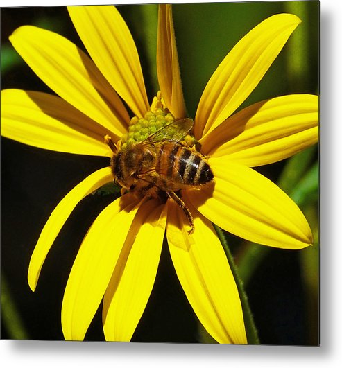 Bee Metal Print featuring the photograph Australian Bee Snacktime by Margaret Saheed
