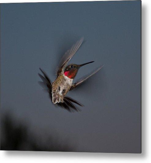 Humming Birds Metal Print featuring the photograph Humming Bird by Jason Loving