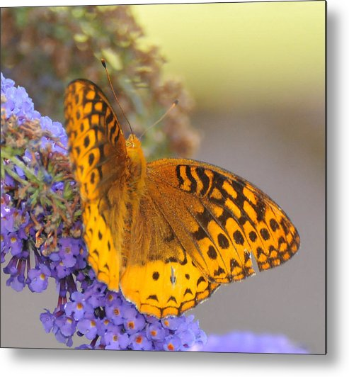 Great Spangled Fritttary Butterfly Metal Print featuring the photograph Great Spangled Fritillary Butterfly by Paul Ward
