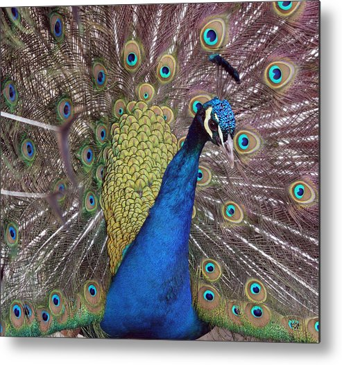 Point Defiance Metal Print featuring the photograph Peacock - 0011 by S and S Photo