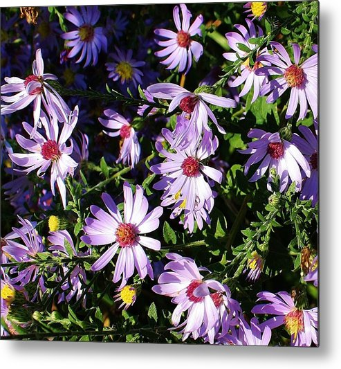 Flora Metal Print featuring the photograph Wild Asters by Bruce Bley
