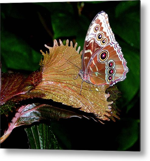 Butterfly Metal Print featuring the photograph Blue Morph Butterfly by Mindy Newman