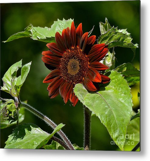 Sunflower Metal Print featuring the photograph Burgundy Red Sunflower by Lisa Telquist