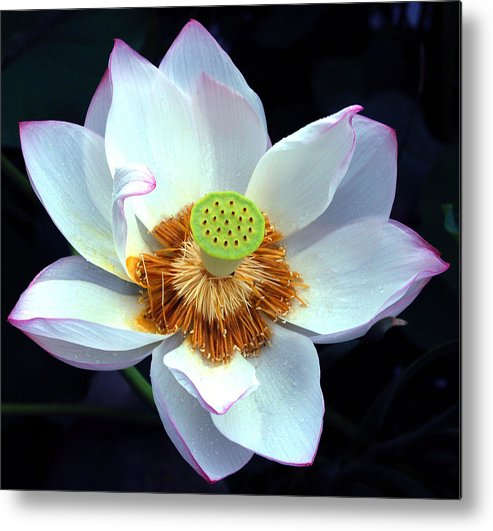 Flower Metal Print featuring the photograph Exotic Lotus by Blima Efraim