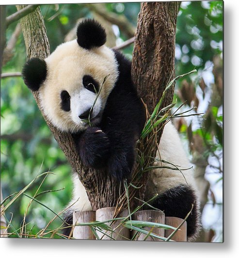 Horizontal Metal Print featuring the photograph Panda Cub Resting On Tree by Feng Wei Photography