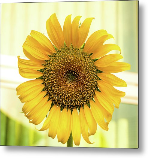 Yellow Metal Print featuring the photograph Yellow Sunflower by Oleg Ver