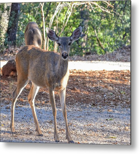 Deer Metal Print featuring the photograph Deer Doe - 1 by Alan C Wade