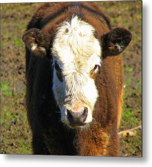 Cow Metal Print featuring the photograph Just A Cow by Kathy Roncarati