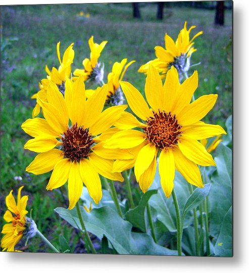 Sunflowers Metal Print featuring the photograph Stunning Wild Sunflowers by Will Borden