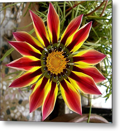 Flower Metal Print featuring the photograph Sun Ray Flower by Caroline Urbania Naeem
