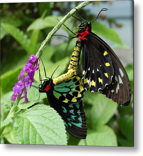 Butterfly Metal Print featuring the photograph Together Forever by Blima Efraim