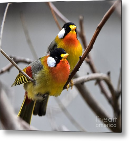 Love Metal Print featuring the photograph Silver-eared Mesia by Wang Liqiang