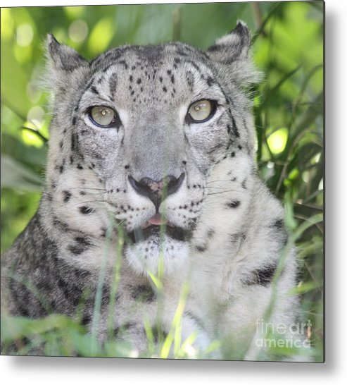Snow Leopard Metal Print featuring the photograph Snow Leopard by John Telfer