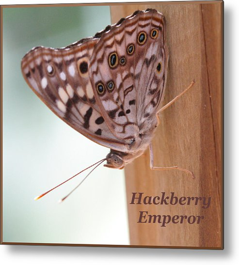 Butterfly Metal Print featuring the photograph Hackberry Emperor by April Wietrecki Green
