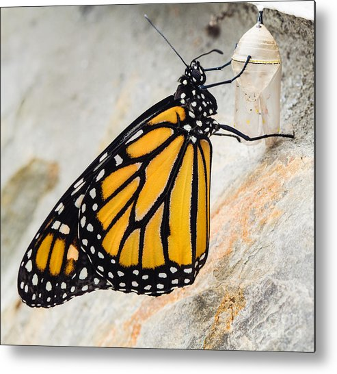 Monarch Butterfly Metal Print featuring the photograph Monarch Butterfly Just Emerged From Her Chrysalis by Dawna Moore Photography