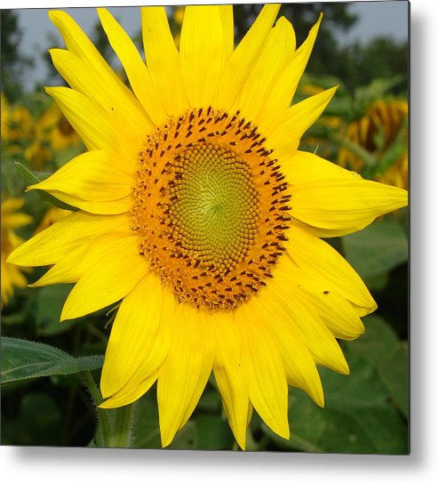 Large Sunflowers Metal Print featuring the photograph Sun Tracker by Cynthia Templin
