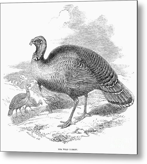 1853 Metal Print featuring the photograph Wild Turkey, 1853 by Granger