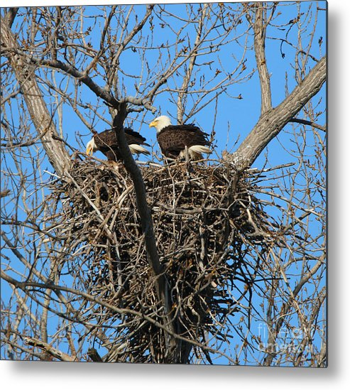 Bald Eagles Metal Print featuring the photograph Bald Eagles Working On The Nest  3682 by Jack Schultz