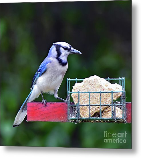 Bird Metal Print featuring the photograph Blue Jay - Cyanocitta Cristata by Bill And Deb Hayes