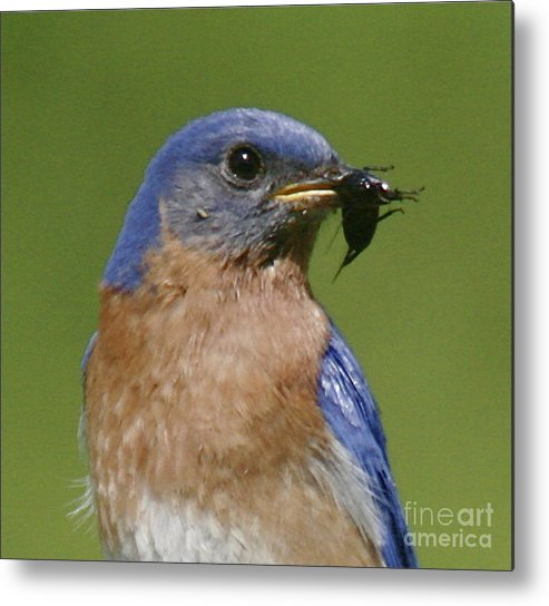 Blue Bird Metal Print featuring the photograph Lunch Time Blues by Robert Pearson