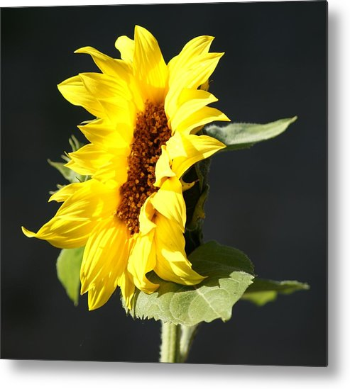 Flower Metal Print featuring the photograph Morning Sunflower by Liz Vernand