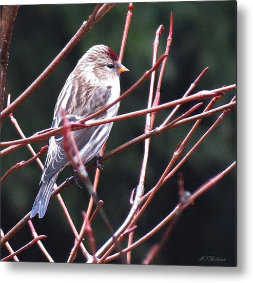Redpoll Metal Print featuring the photograph Redpoll by MTBobbins Photography