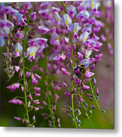 Wisteria Metal Print featuring the photograph Wisteria by John Hoey