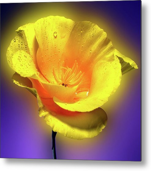 Garden Metal Print featuring the photograph Californian Poppy. by George and Sally Stevenson