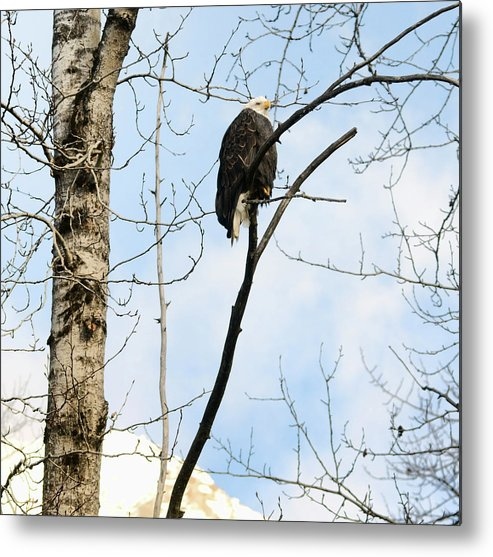 Eagle Metal Print featuring the photograph Eagle In A Tall Tree by Clarence Alford