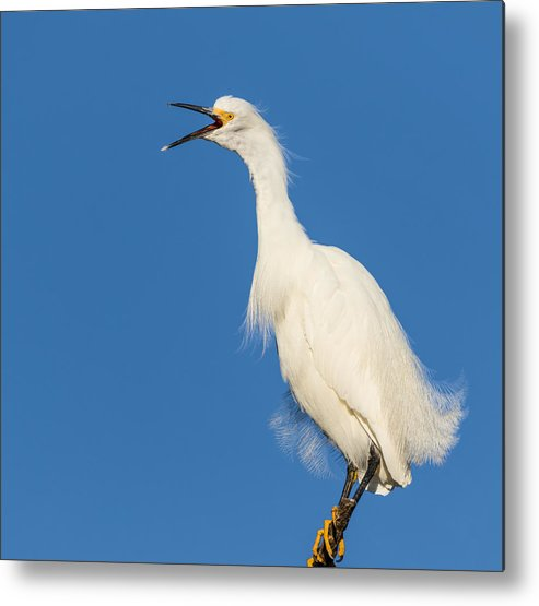 Snowy Egret Metal Print featuring the photograph Snowy Egret With Attitude by Kathleen Bishop