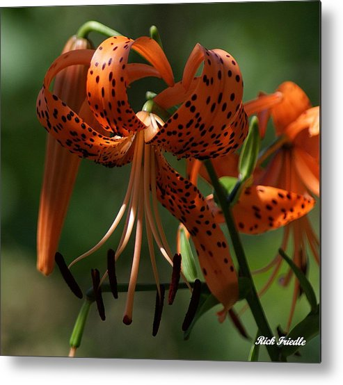 Flowers Metal Print featuring the photograph Tiger Lilly by Rick Friedle