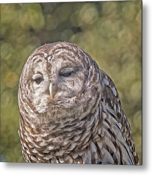 Barred Owl Metal Print featuring the photograph Barred Hoot Owl Photo Art by Constantine Gregory