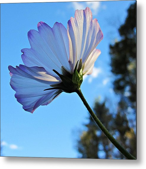 Cosmos Metal Print featuring the photograph Cosmos To The Sky by MTBobbins Photography