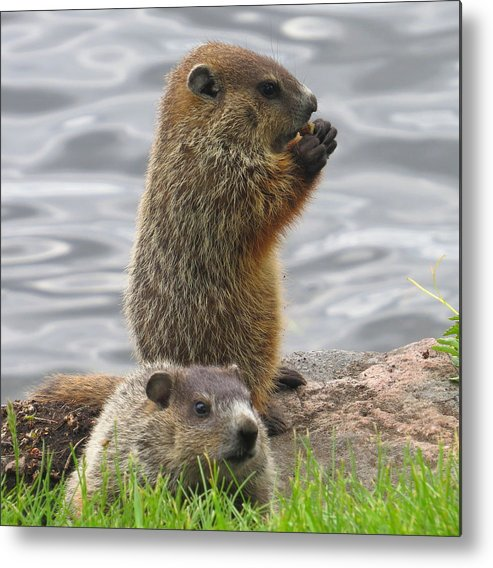 Animals Metal Print featuring the photograph Baby Woodchucks by Alex Call