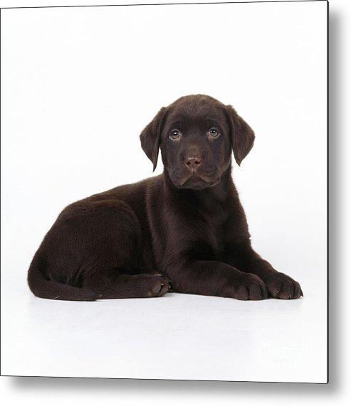Chocolate Labrador Metal Print featuring the photograph Chocolate Labrador Dog by John Daniels