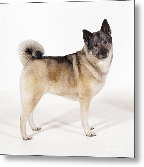 Elkhound Metal Print featuring the photograph Elkhound Dog by John Daniels