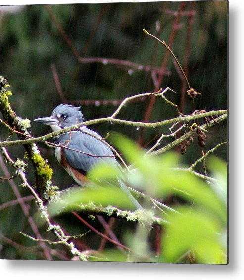 Birds Metal Print featuring the photograph Kingfisher In The Rain by Debra Kaye McKrill