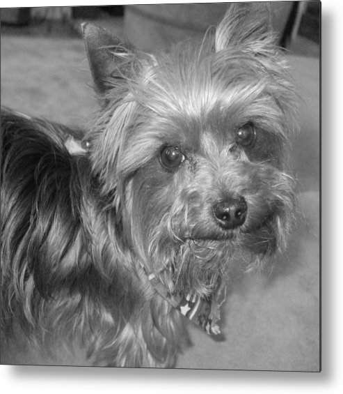 Dog Metal Print featuring the photograph No-nonsense Pup by Pharris Art