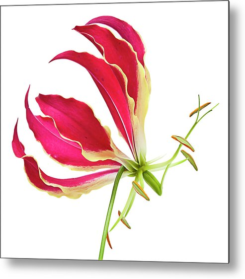 Lily Metal Print featuring the photograph Lily Still Life by Robert Ullmann
