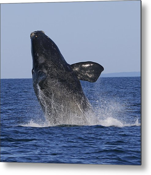 Right Whale Breach Metal Print featuring the photograph Discovering Another Dimension by Tony Beck
