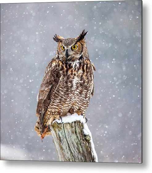 Horizontal Metal Print featuring the photograph Great Horned Owl by Paul Bruch Photography