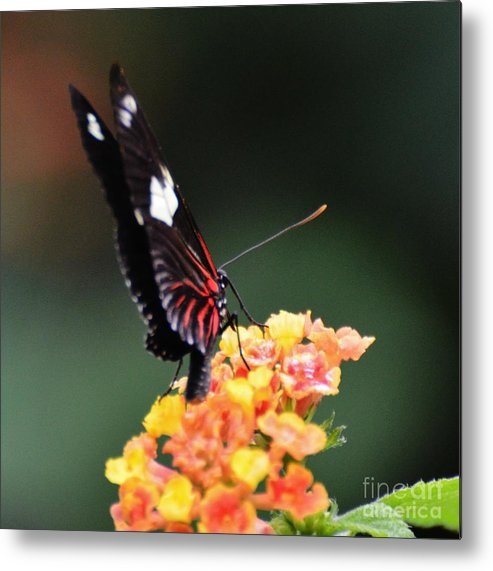 Butterfly Metal Print featuring the photograph Postman by Paulina Roybal