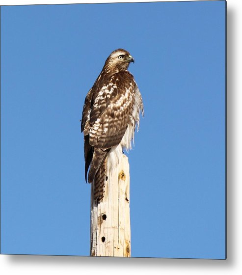 Redtail Hawk Metal Print featuring the photograph Watchful Hawk by Amara Roberts