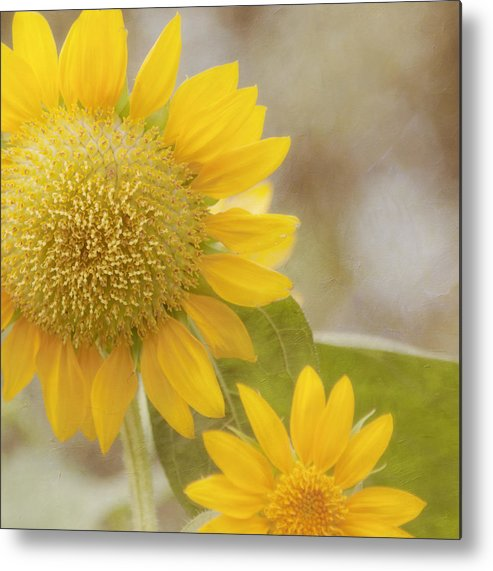 Horizontal Metal Print featuring the photograph Sunflower by Kim Hojnacki