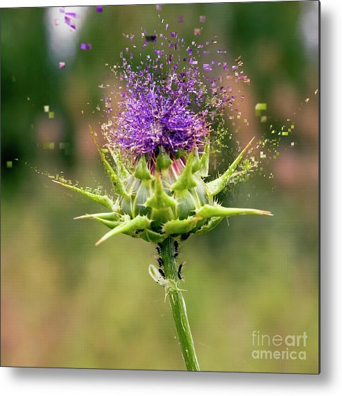 Israel Metal Print featuring the photograph Silybum Eburneum Milk Thistle by Humourous Quotes